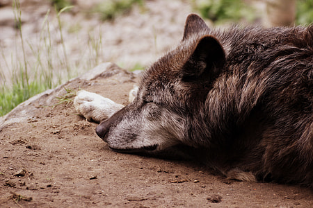 brown and gray wolf lying on brown soil during daytime