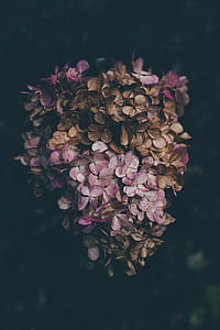 pink hydrangea in close up photography