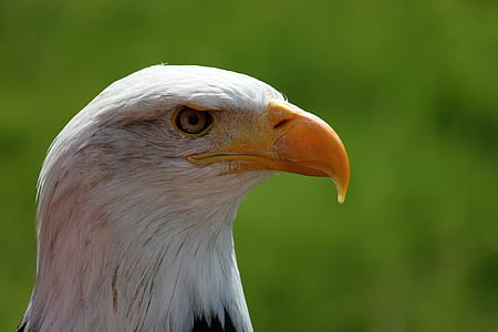 focus photography of eagle