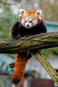 red panda on trunk of tree