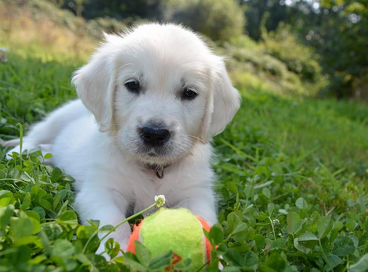 golden retriever puppy with tennis ball on grass field d