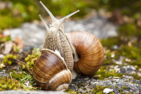 macro photography of two brown snails