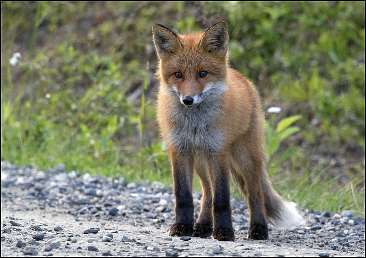 selective focus red fox