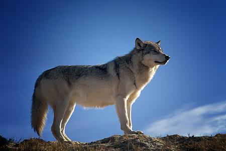 wolf under blue sky