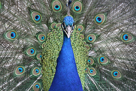 shallow photography of a peacock