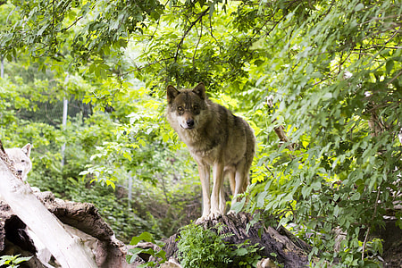 gray wolf standing in gray wood trunk