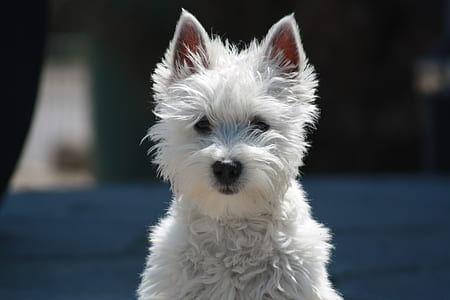 closeup photo of West Highland white terrier