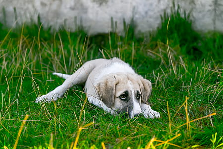 short-coated tan and white puppy lying on grass field