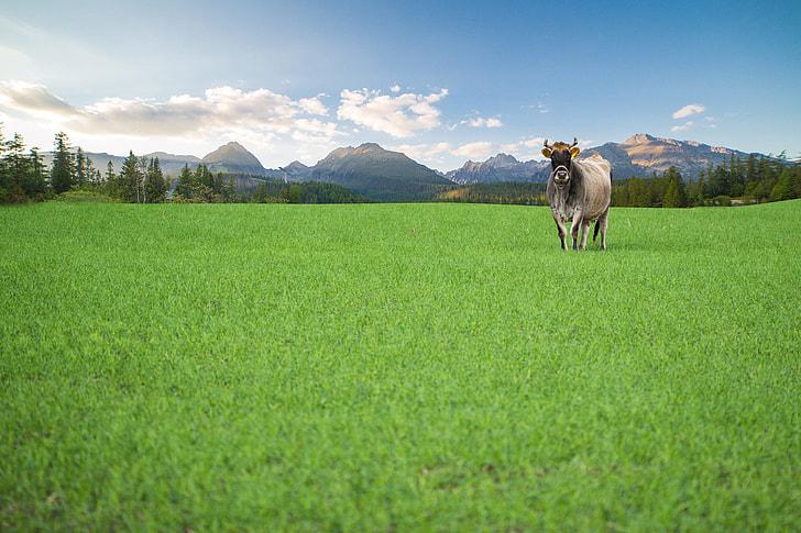 Happy Cow from Organic Farm Free Range