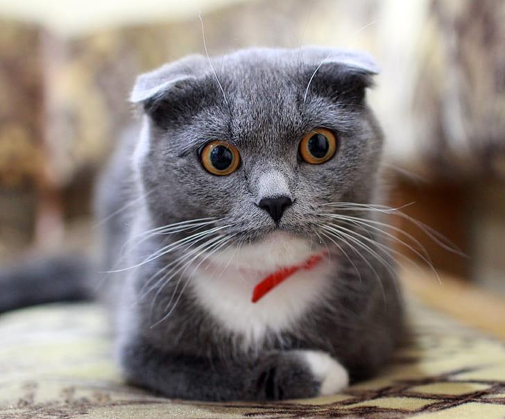 short-coated gray kitten