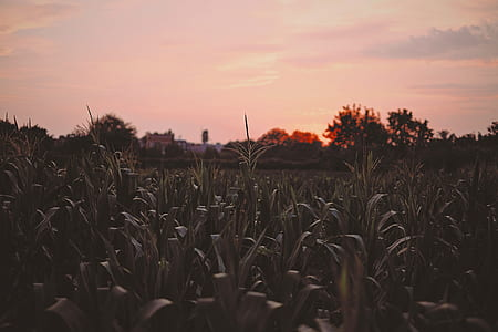corn field during nightfall