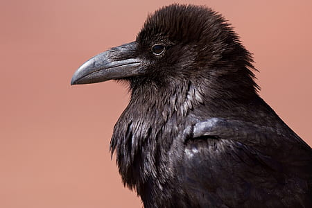 black crow close-up photography