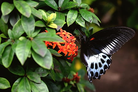 common rose butterfly on orange cluster flowers