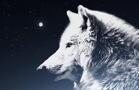 wolf, night sky, moon, atmosphere, mythology, white