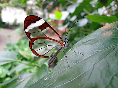 closeup photo of glasswing butterfly