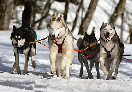 four running wolves