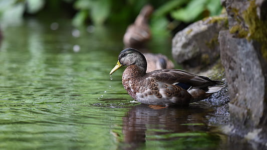 female mallard duck near water