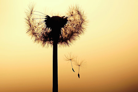 silhouette photo of dandelion during golden hour