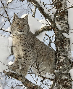 shallow focus photography of gray lynx