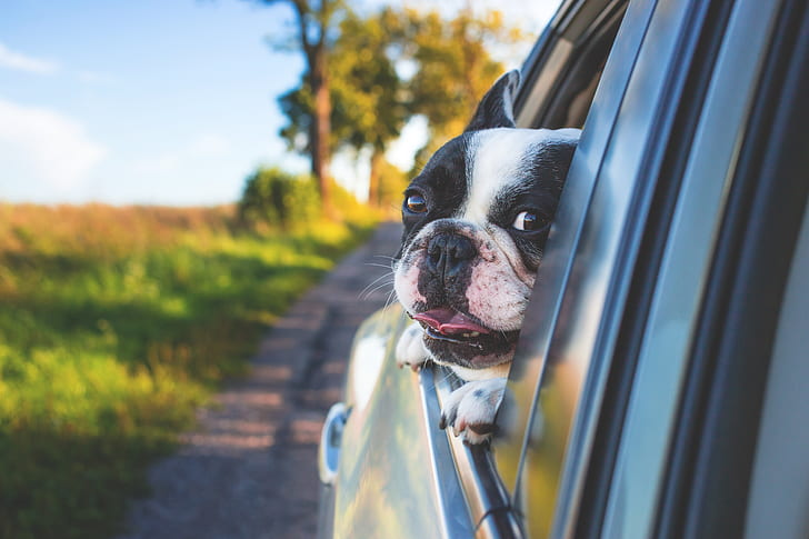black and white Boston terrier looking outside