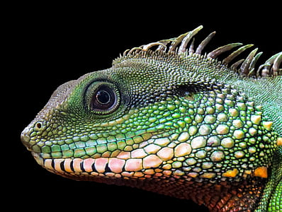 green and pink chameleon