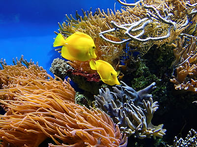 two yellow fish surround by coral reefs
