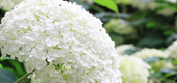 shallow focus of white hydrangeas