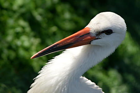 snowy egret closeup photo
