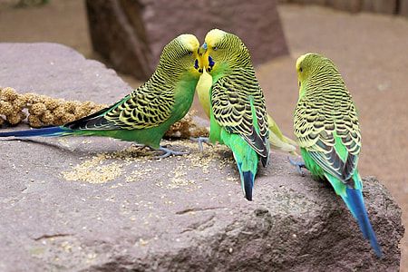photo of three yellow-and-green budgerigars