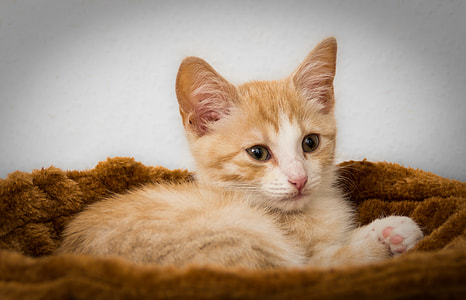 orange tabby kitten on brown pet bed