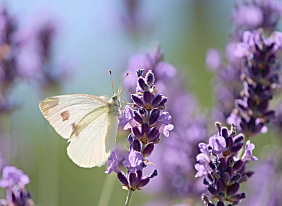 white sulfur moth perched on purple flower