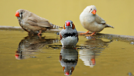 zebra finch on body of water