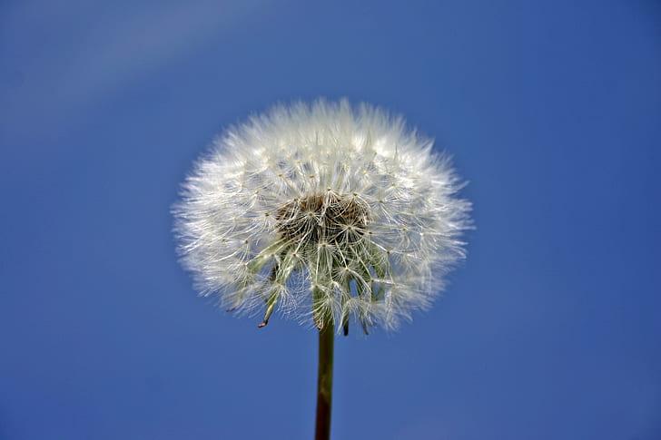 withered dandelion under blue sky