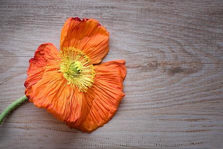 orange poppy flower on brown wooden surface