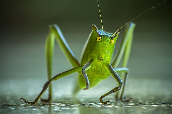 green katydid in macro photography