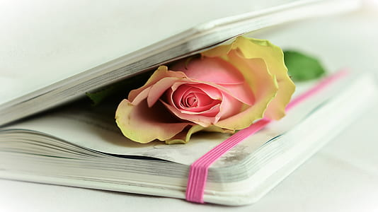 pink rose on book