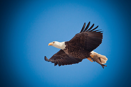 bald eagle on flight
