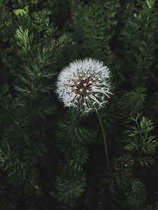 image contains close up photo of white dandelion