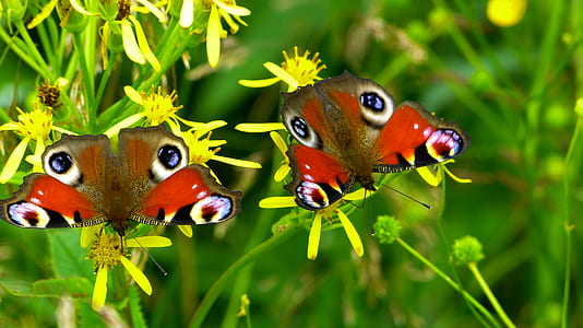 brown and red butterflies on yellow flowers