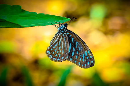 blue and brown butterfly