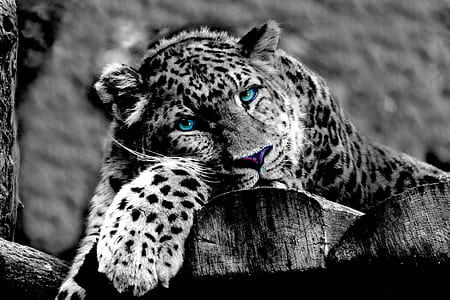 grayscale photo of sitting leopard on wood