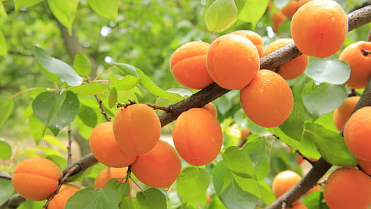 peach fruit on tree branch