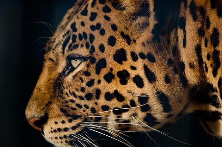 close-up photograph of cheetah