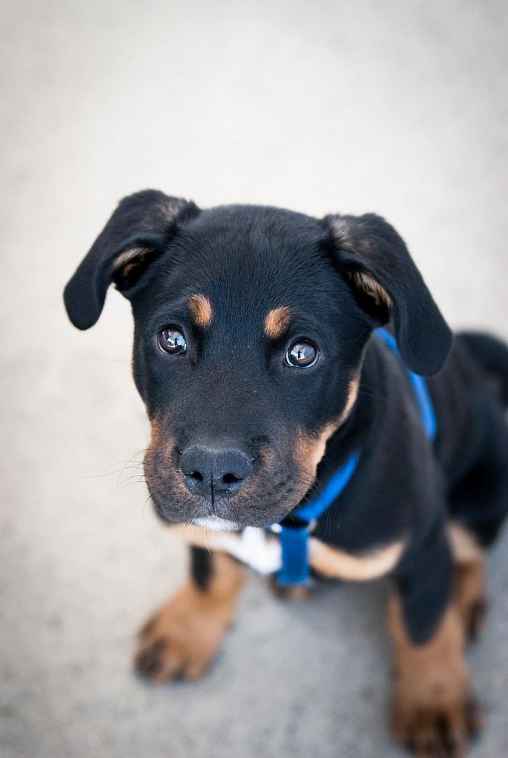 mahogany Rottweiler puppy on focus photo
