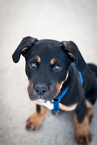 mahogany Rottweiler puppy on focus photo