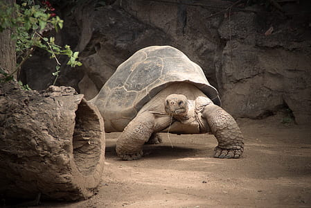 gray turtle beside rock at daytime