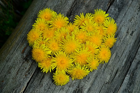 yellow dandelions on gray wooden surface