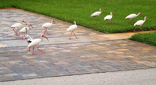 flock of white long-beaked birds on the grounds