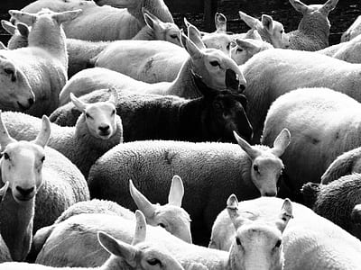 grayscale photography of herd of sheep