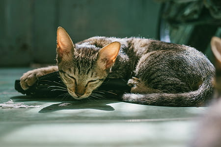 Brown Tabby Cat Sleeping